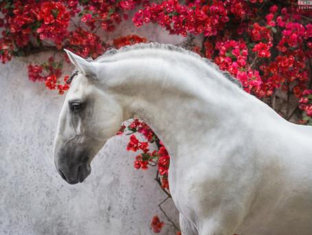 LUSITANO HORSES OF PORTUGAL I