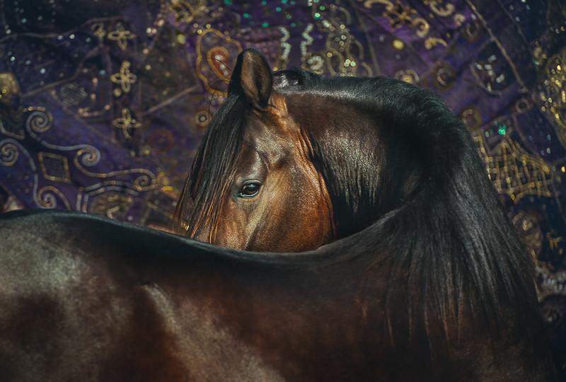 bay marwari horse portrait with Indian carpet