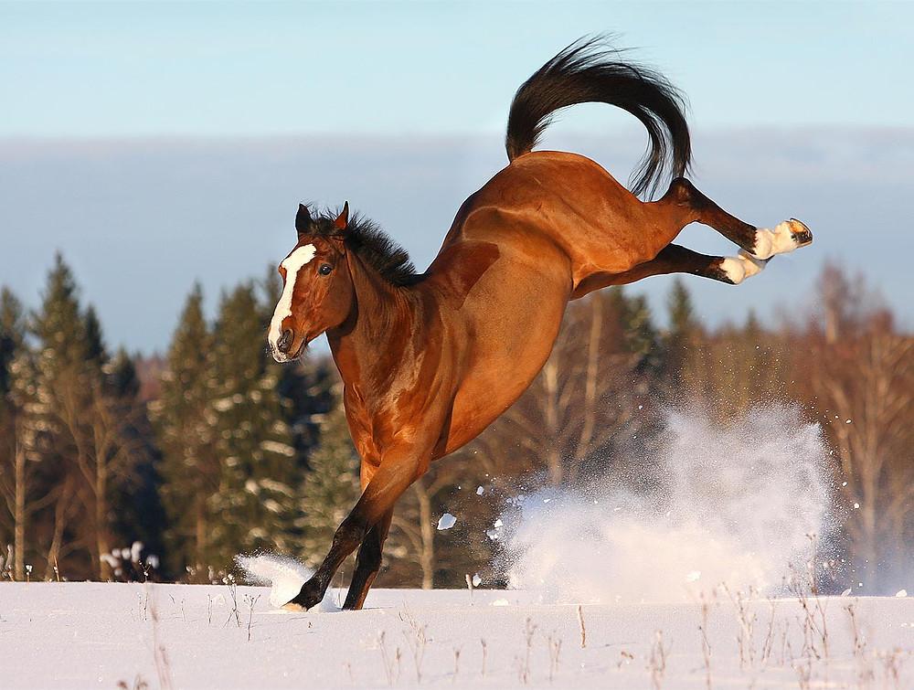 bay warmblood horse bucking in the snow