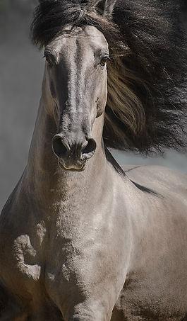 portrait of grey sorraia horse