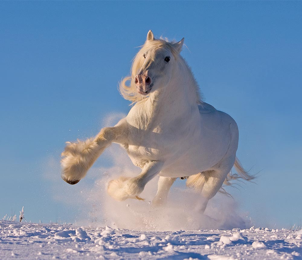 White heavy draft shire horse in the snow