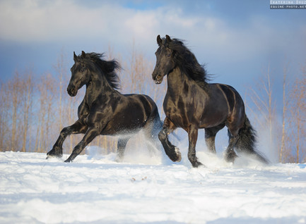 TWO FRIESIANS