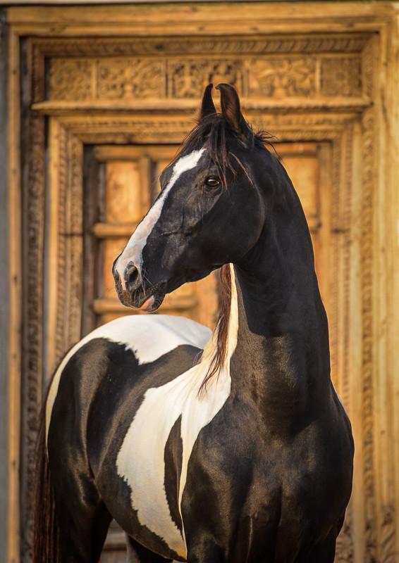 Marwari pinto horse posing near old indian gate