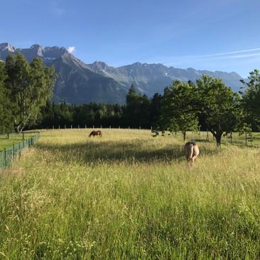 Nordkette im  Sommer mit Pferde Koppel