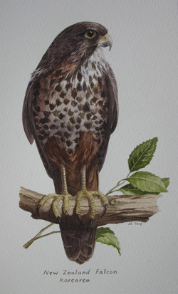 Karearea - NZ Falcon
