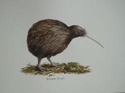 NZ Brown Kiwi