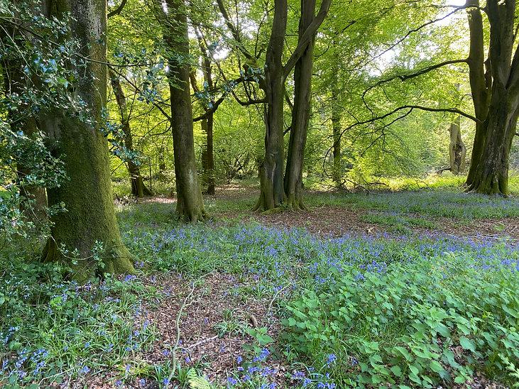 bluebell lasham woods.jpg
