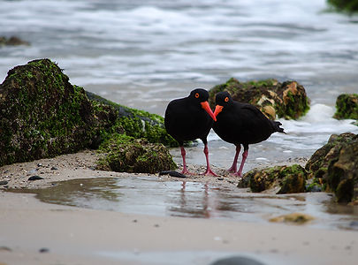 Sooty Oystercatchers Byron Bay