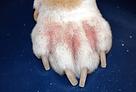 pododermatite alérgica cães