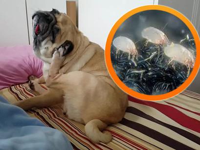 A causa da alergia do seu Pet pode estar dentro da sua casa: os ácaros da poeira.