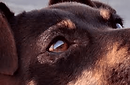 alopecia periocular cães