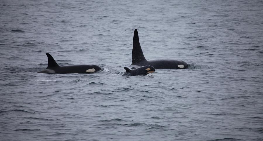 killer-whales-3933326_1920.jpg
