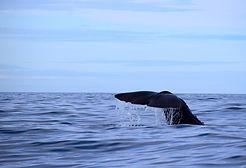 sperm-whale-2742574_1920.jpg