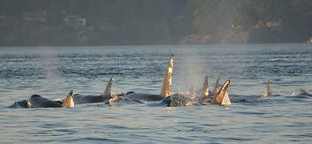 orcas-590038_1920.jpg