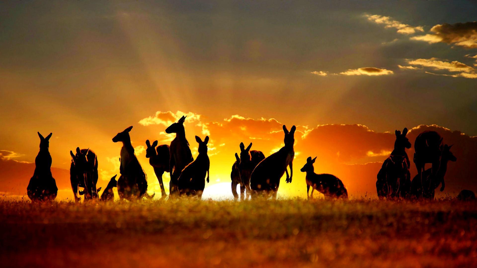 Australia Kangroo
