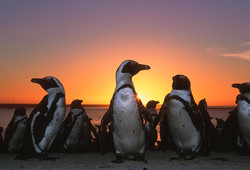 colony-of-jackass-penguins