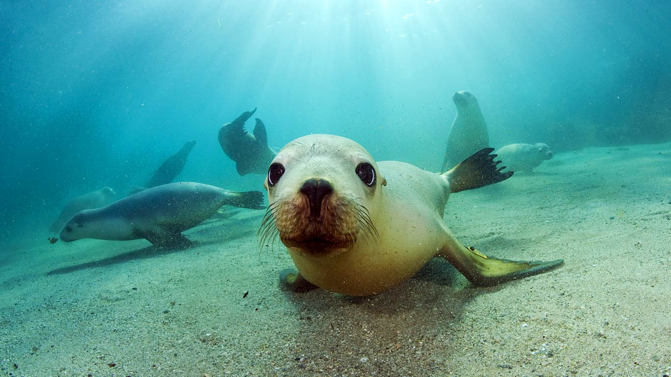 Australian-Sea-Lions