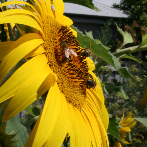 Bees love sunflowers
