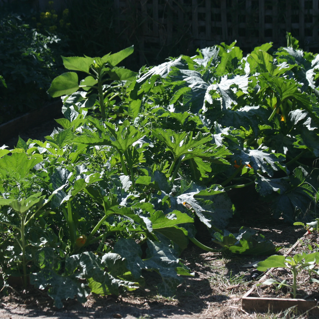A row of zucchini