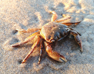 Crabby Monday - Lined Shore Crab
