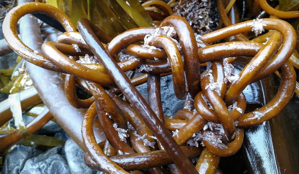 Celtic Kelp Knot