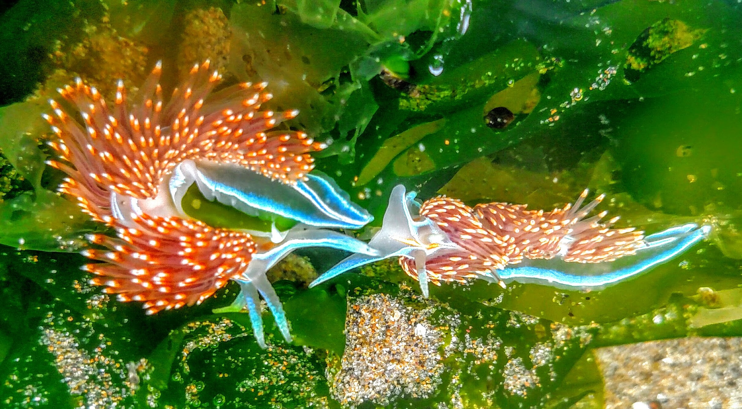 Opalescent Nudibranchs Fighting