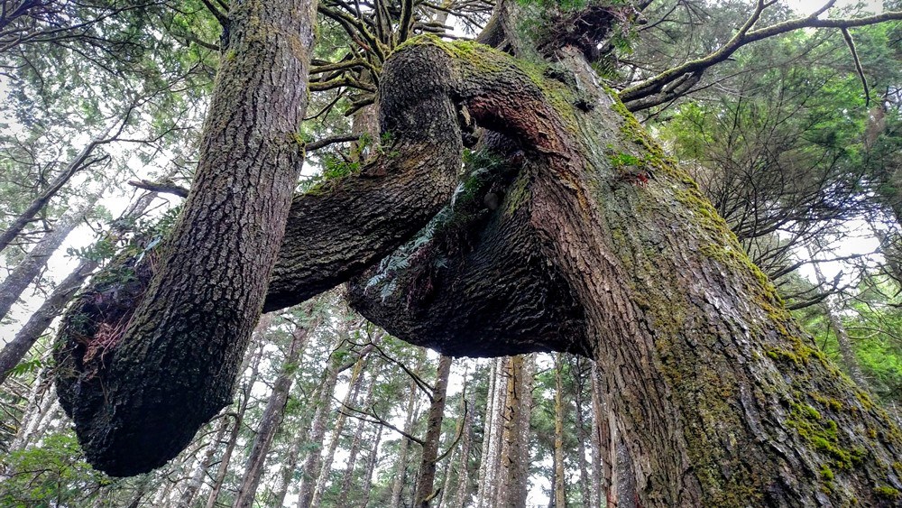 Twisted Spruce