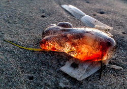 Piece of Jellyfish at Sunset