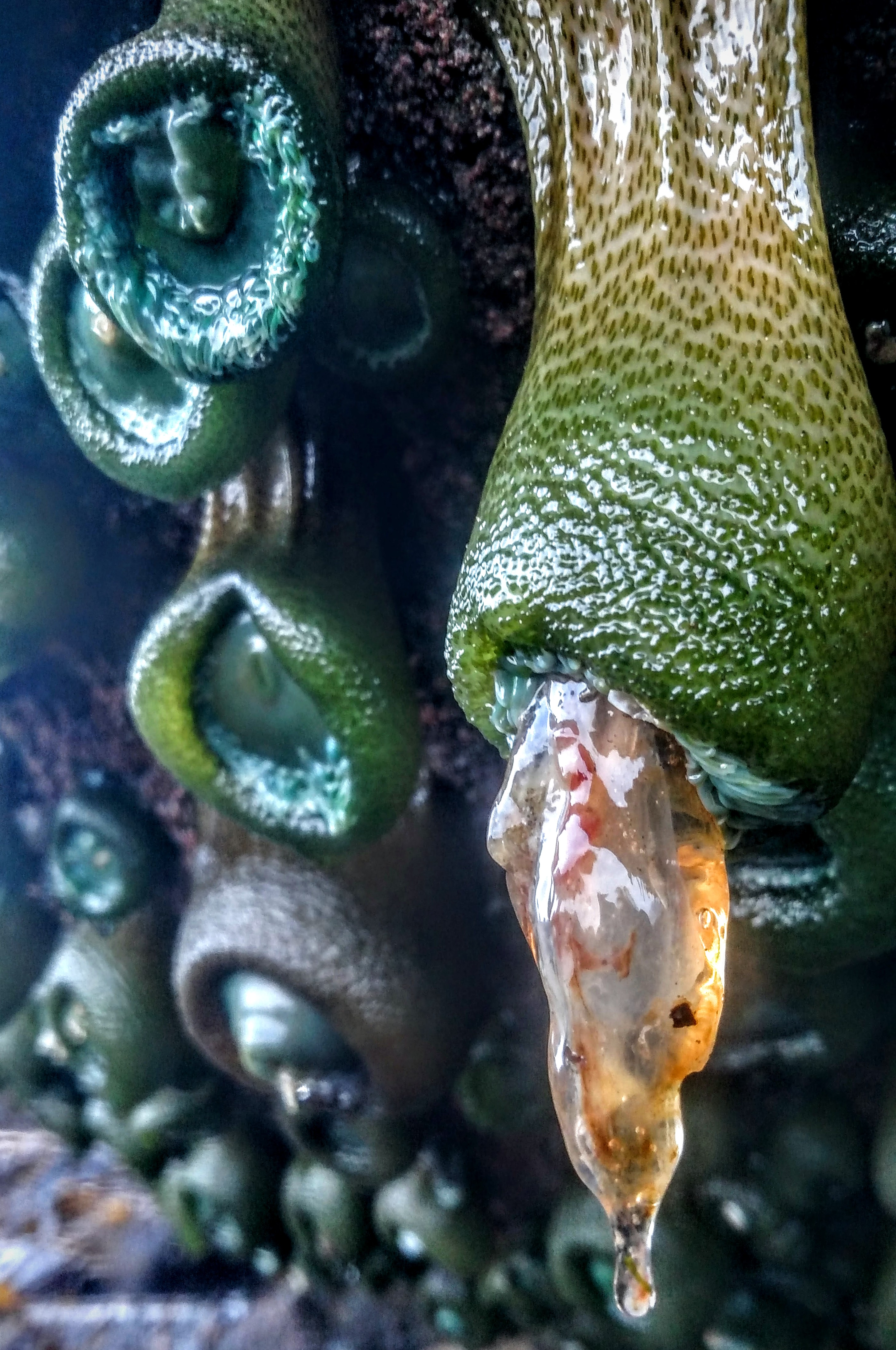 Giant Green Anemone Eating Jellyfish