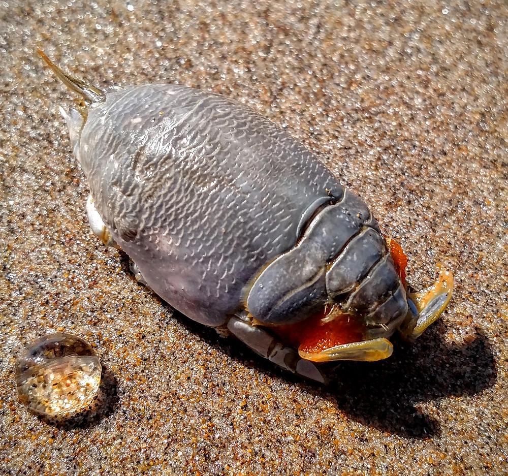 Mole Crab and Gooseberry