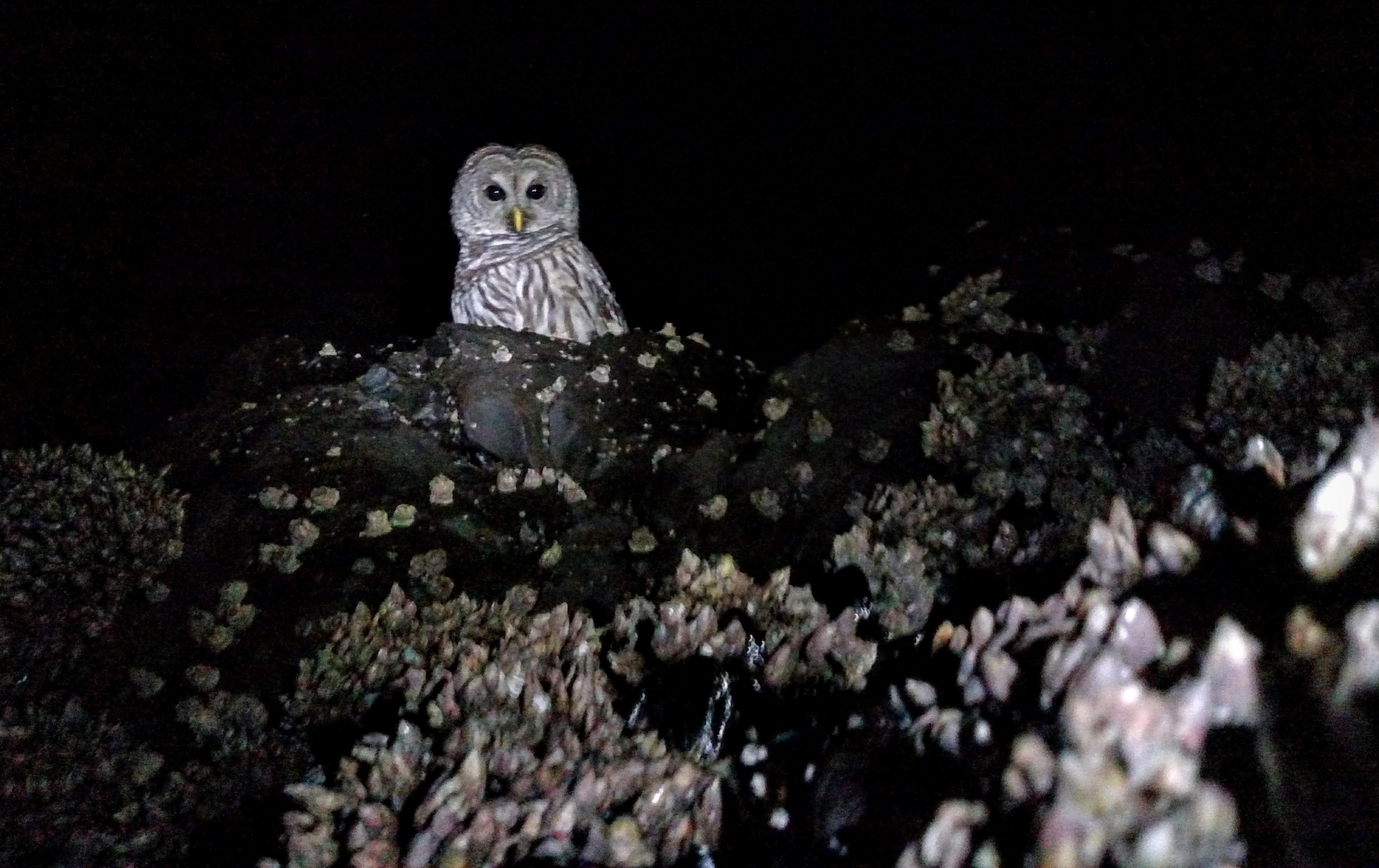 Barred Owl in Intertidal Zone