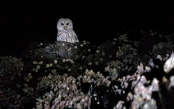 Barred Owl in Intertidal Zone