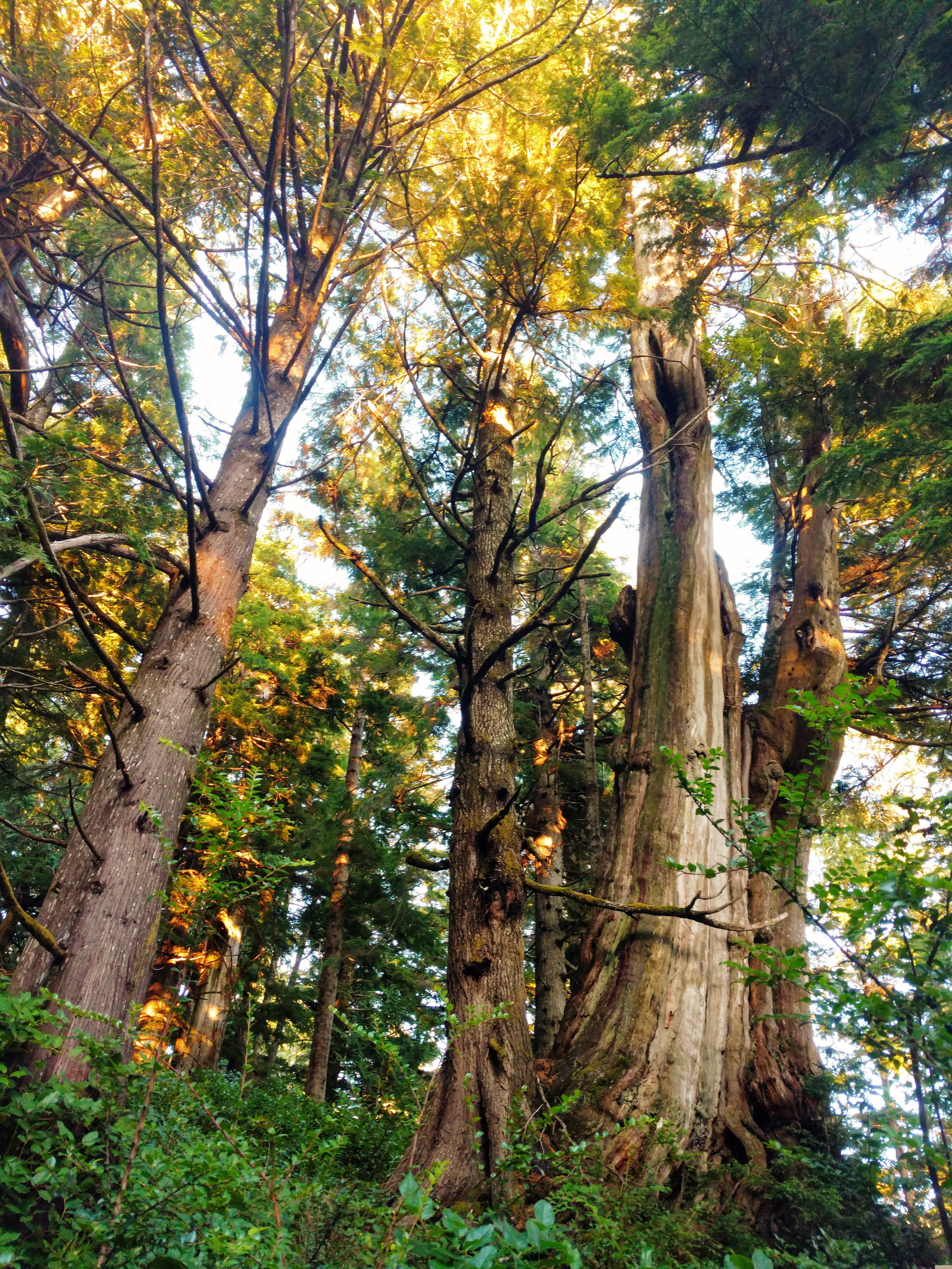 cedar and hemlocks in last light
