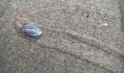 Olive Snail