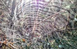 Orb Weaver Webs