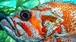 Scarlet Rockfish at Seattle Aquarium