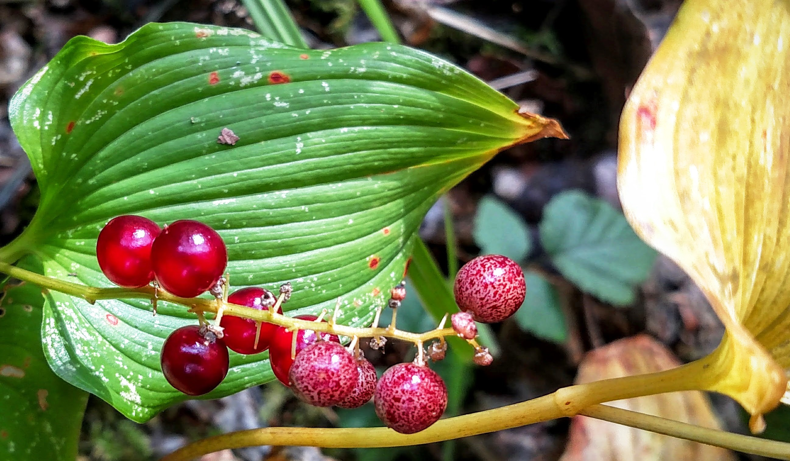 False Lilly of the Valley Berries