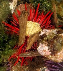 Red Urchin