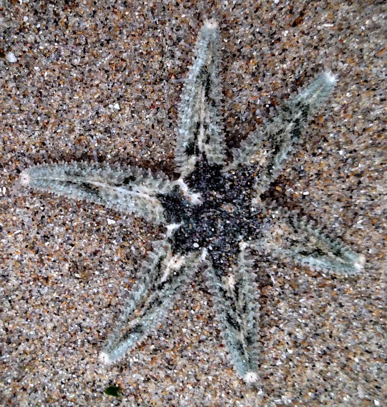 Six-Rayed Sea Star