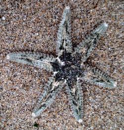 Six-Rayed Sea Star