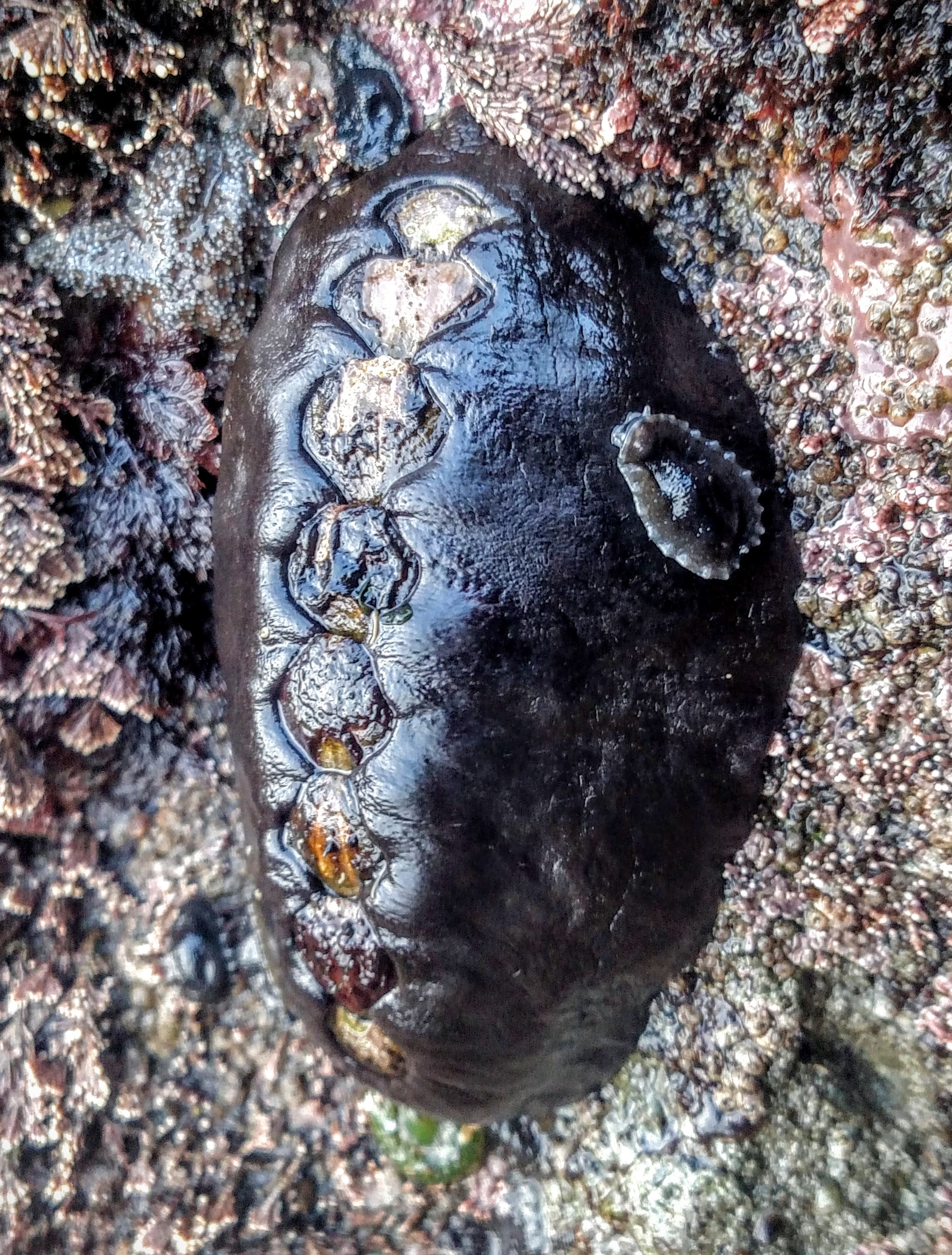 Leather Limpet on Black Katy Chiton