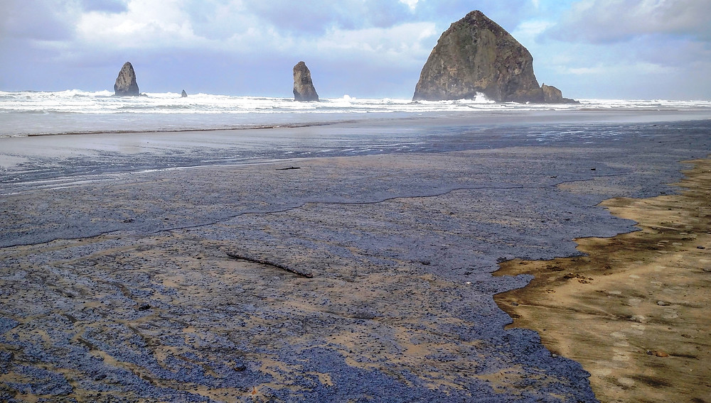 Velella-covered Beach at Haystack Rock