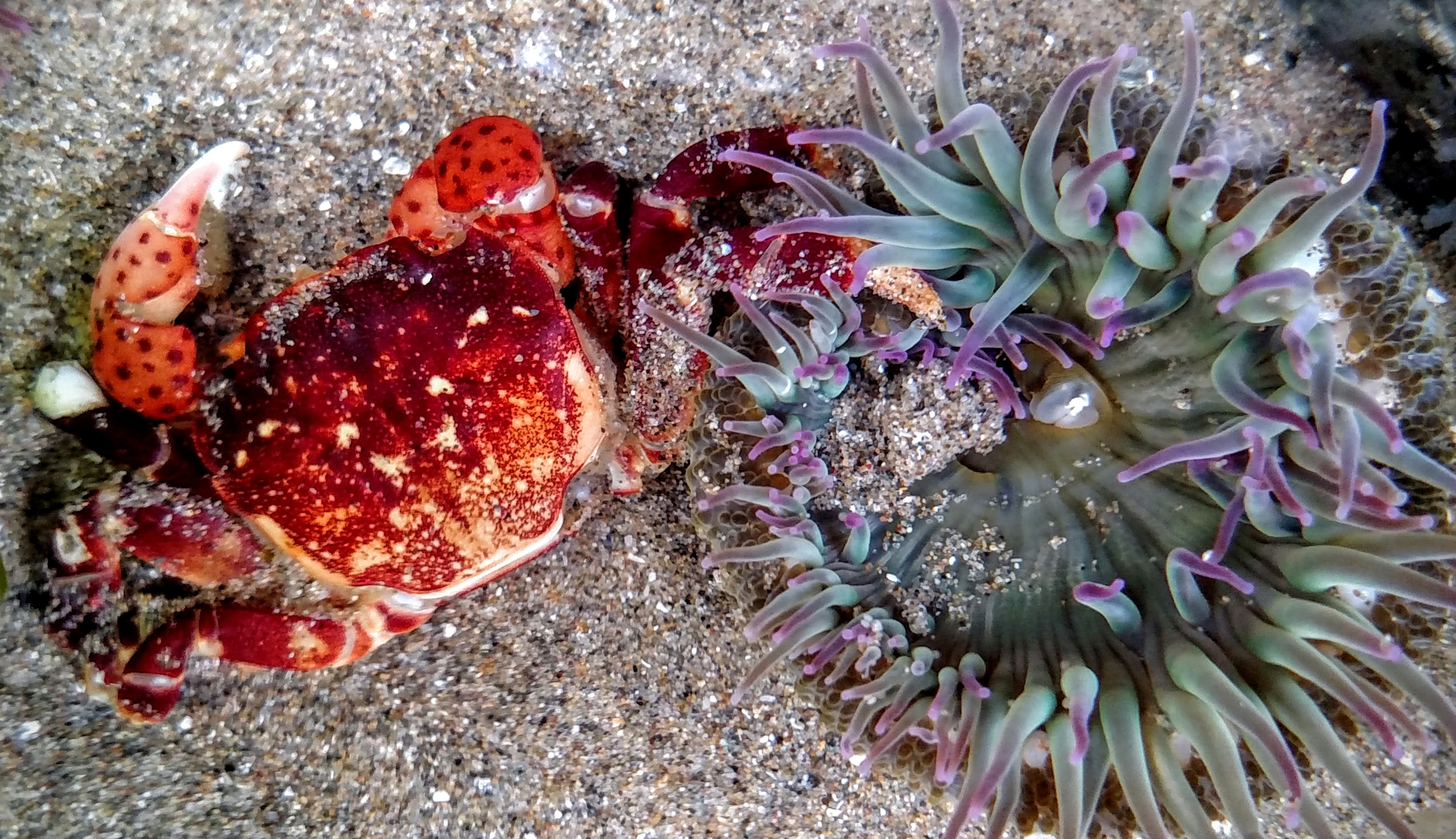 Anemone Attacking Shore Crab