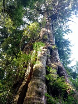 Arcadia Cedar in summer sunlight