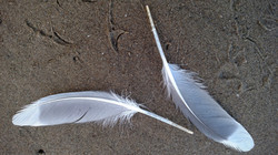Seagull Feathers