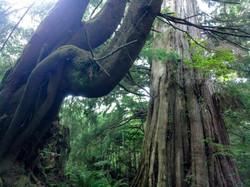 hemlock and cedar