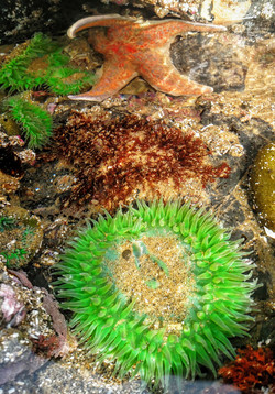 Leather Star and Giant Green Anemone