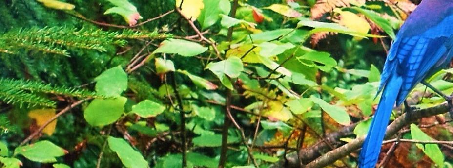 Steller's Jay in Rainforest