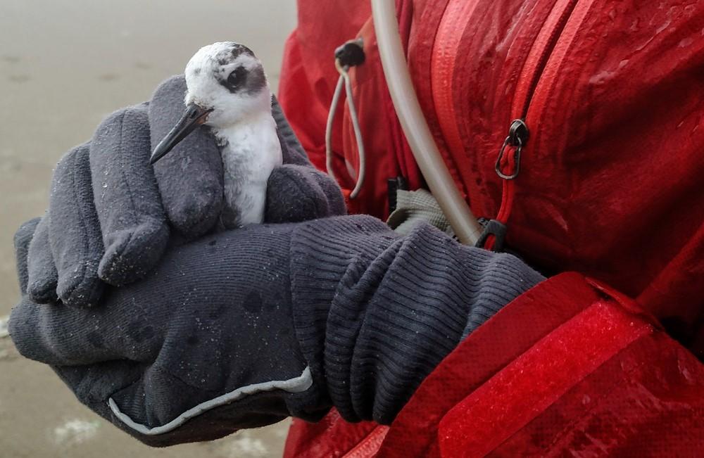 Phalarope Rescue