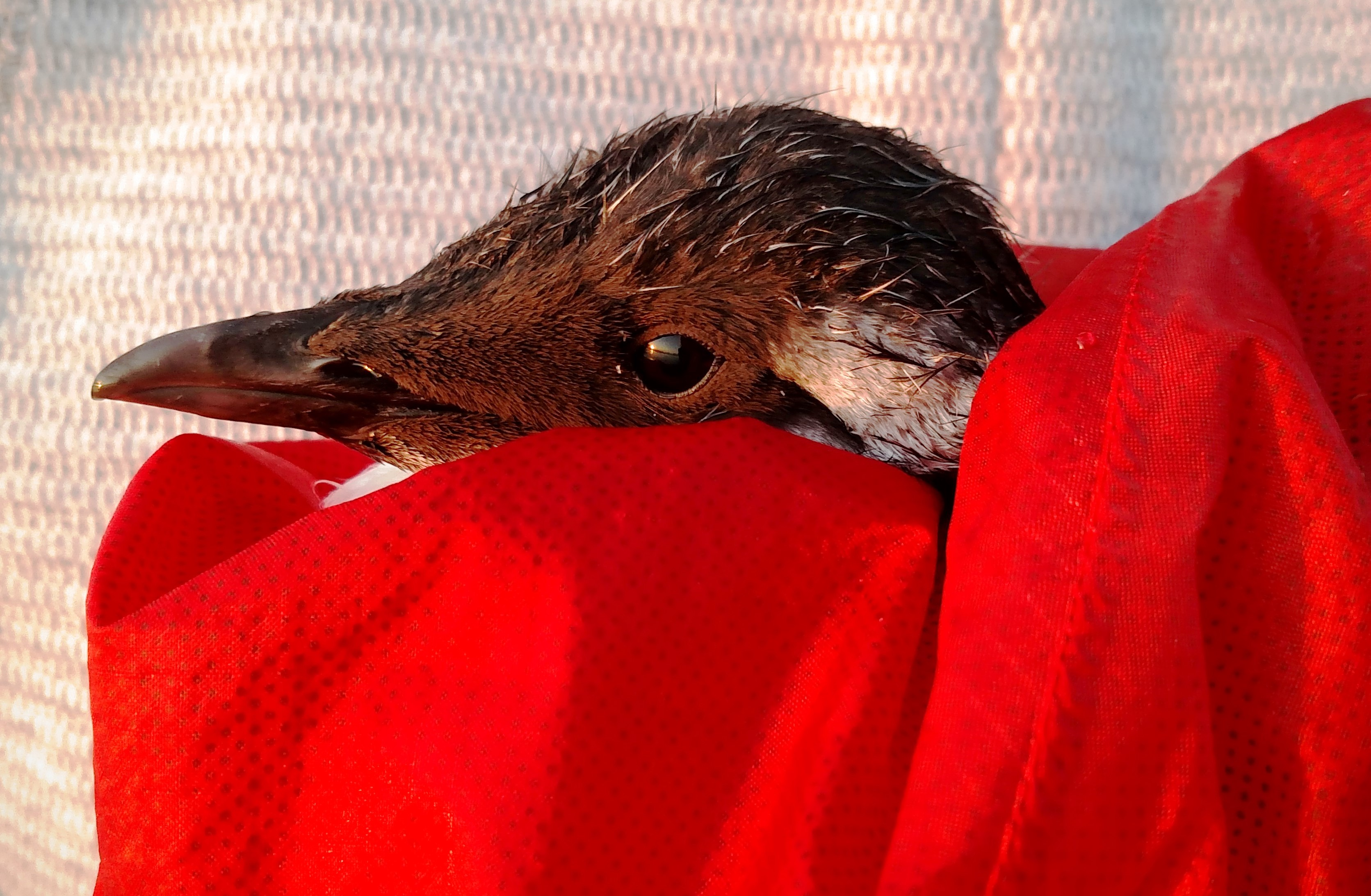 Common Murre Rescue at Cannon Beach